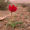 Ir 2134 Tulipa stapfii