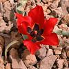 Ir 2255 Tulipa stapfii