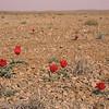 Ir 2243 Tulipa stapfii