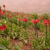 Ir 3608 Fritillaria imperialis