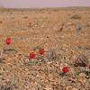 Ir 2242 Tulipa stapfii