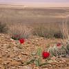 Ir 2132 Tulipa stapfii