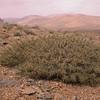 Ir 2119 Astragalus spec
