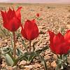 Ir 2250 Tulipa stapfii
