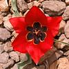 Ir 2257 Tulipa stapfii