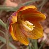 Ir 2559 Fritillaria reuteri