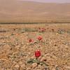 Ir 2238 Tulipa stapfii