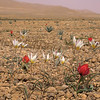Ir 2247 Tulipa stapfii + buhseana
