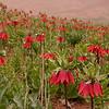Ir 3616 Fritillaria imperialis
