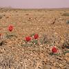 Ir 2241 Tulipa stapfii