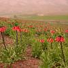 Ir 3607 Fritillaria imperialis