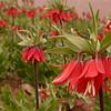 Ir 3618 Fritillaria imperialis