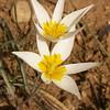 Ir 2577 Tulipa buhseana