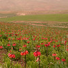 Ir 3606 Fritillaria imperialis