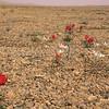 Ir 2246 Tulipa stapfii + buhseana