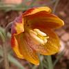 Ir 2560 Fritillaria reuteri