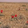 Ir 2245 Tulipa stapfii