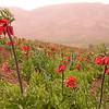 Ir 3610 Fritillaria imperialis
