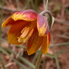 Ir 2562 Fritillaria reuteri