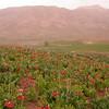 Ir 3604 Fritillaria imperialis