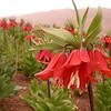 Ir 3619 Fritillaria imperialis