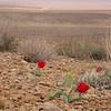 Ir 2131 Tulipa stapfii