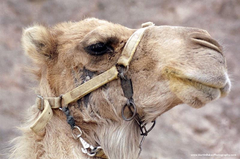 Camel, Eilat, Israel.