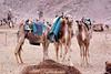 Camels, Eilat, Israel.