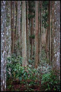 Cedar forest, Koyasan