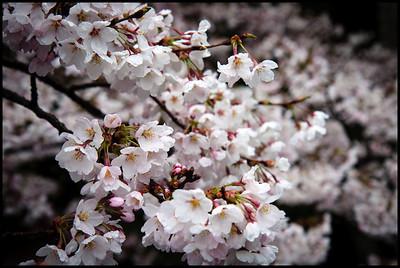 Cherry blossom, Koyasan