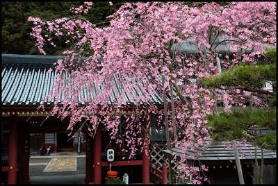 Peach blossom, Koyasan