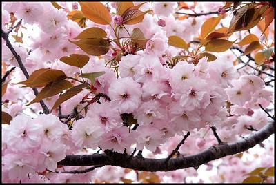 Cherry blossoms at the Mint Bureau, Osaka