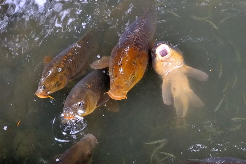 Begging fish - Kenroku-en Garden - Kanazawa, Japan