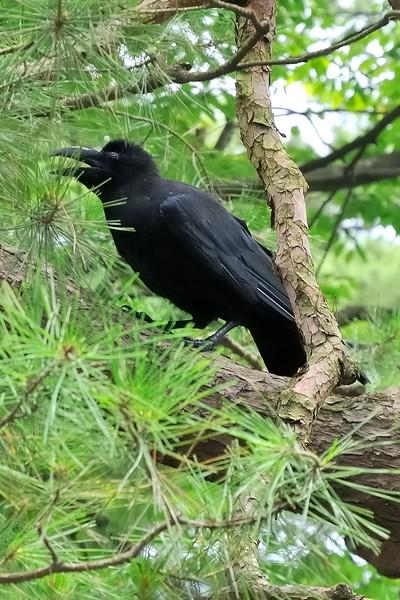 Opinionated Raven - Kenroku-en Garden - Kanazawa, Japan