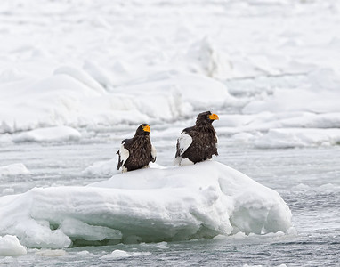 Two Steller's Sea Eagles sitting on an ice flow