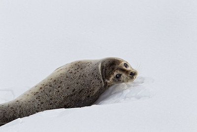 A spotted seal on the pack ice