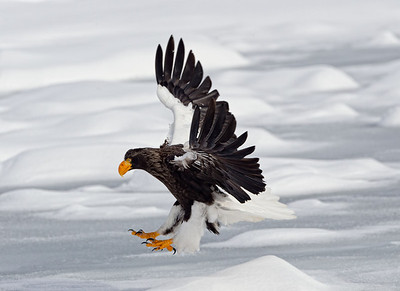 Steller's Sea Eagle preparing to land on the pack ice
