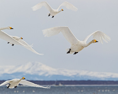 Whooper swans fly overhead