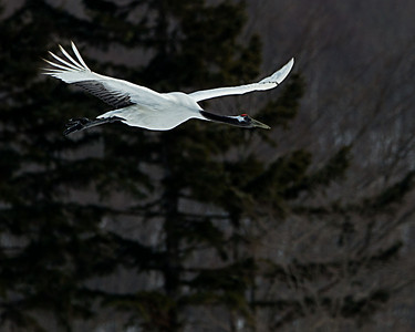 Magnificent looking Japanese Crane in flight