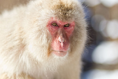 The snow monkeys of Nagano have deep and interesting aces