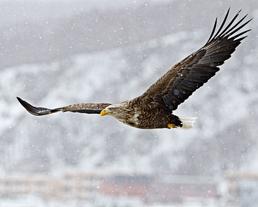 Beautiful as they fly even in the snow