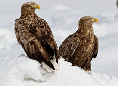Two White Tailed Sea Eagles out on the ice