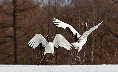 Perhaps this is the tango?  Japanese Cranes dancing.
