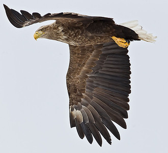A White Tailed Sea Eagle flies over searching the ice outside Shireteko Japan on the island of Hokkaido