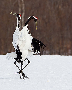 Certainly not ordinary bird behavior.  Two Japanese cranes dancing in a field.