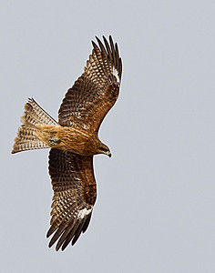 A black eared kite in flight
