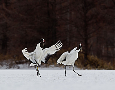 The Japanese Cranes court with an elaborate display of dancing and calling