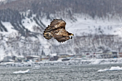 A juvenile sails over the water in front of Shireteko