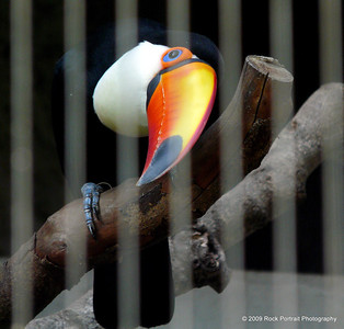 I am so annoyed that I had to shoot through bars, but the Toucan is too beautiful to not show the shots.