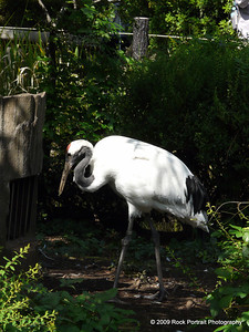 It took me a good ten minutes to figure out that a very strange noise was being made by 3 or 4 of these guys roaming around this enclosure. I imagine they are part of the stork family
